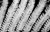 organic fractal in black and white, fern fronds create a repeating pattern, Phippsburg, Maine coastal garden