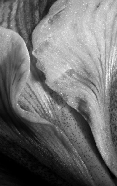 Amarylis flower petal details in black and white., cult