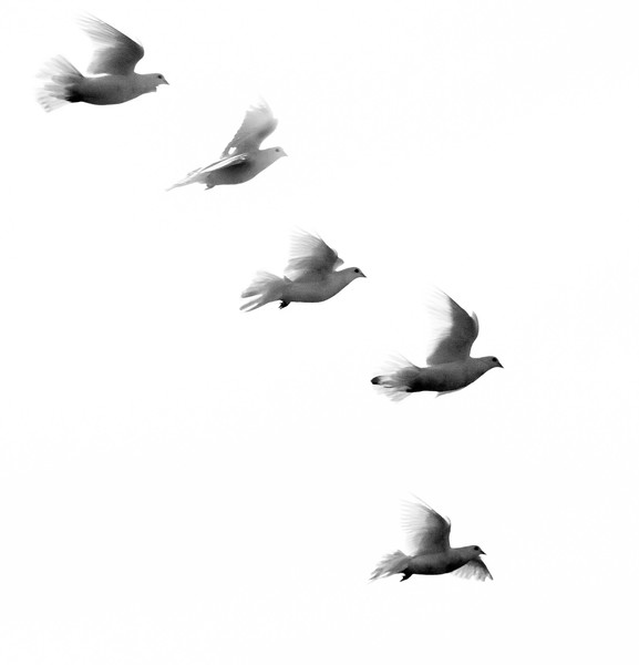 flock of five white doves in flight, Phippsburg, Maine