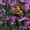 Canadian Swallowtail butterfly on pink Dianthus flowers, feeding on nectar, Phippsburg, Maine coastal garden. These dianthus, members of the pinks family smell like cloves