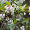 Blueberry flowers, low bush native to Maine, Phippsburg, coastal flowers, August will show blue fruits