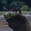 Double-crested cormorants perched on rocks, one of them is drying its wings, The Branch, Small Point Harbor, Phippsburg, Maine summer