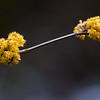 Cornelian Cherry tree blossoms, spring, Phippsburg, Maine coastal garden, Cornus mas bears edible fruits in August