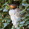 female North American robin, bird peering from nest in wall planter nestled into English ivy covered wall, Phippsburg, Maine