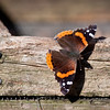 Red Admiral butterfly, this was a very late, November migrant in my coastal Maine, Phippsburg yard