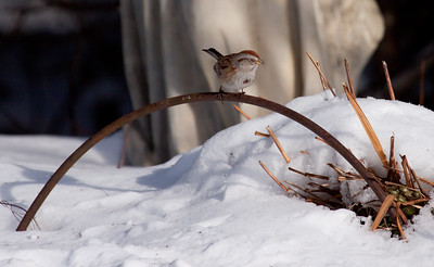 American Tree sparrow perched on garden border in snow, nearly asleep, Phippsburg, Maine