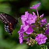 Black Swallowtail butterfly landing on garden phlox to feed on nectar while in flight, Phippsburg Maine gardens