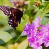 Black Swallowtail butterfly in flight about to land on garden Phlox to feed on nectar, Phippsurg Mane, my coastal garden. Photo  taken in August.