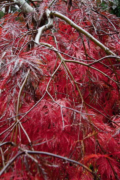, Japanese maple leaves and branch structure, Inaba Shidare