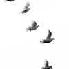 White doves in flight, Phippsburg, Maine