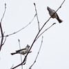 Tufted Titmice, pair male and female, Phippsburg, Maine birds