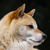 Our dog, Perry is a Shiba Inu, a popular breed of dog in Japan, pet dog head shot