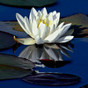 White Waterlilies are indigenous to Maine waters. They grow in still water. The leaves, called Lily Pads provide habitat for fish underneath them and places for frogs and dragonflies. A Blue Fronted Dancer is seen in these photographs in Phippsburg, Maine