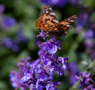 Painted or American lady butterfly on purple Catmint or Catnip flowers, Phippsburg, Maine garden