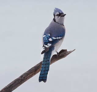 Majestic Bluejay perched on branch looking right, viewed from the back, Phippsburg Maine. gorgeous blue feathers