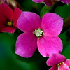 Hot pink Kalanchoe close up, , cult