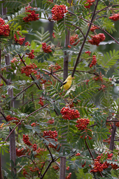 American Goldfinch male in stunning, yellow breeding plumage perched in Showy Mountain Ash tree, Sorbus decora with crimson berries, late summer Phippsburg, Maine songbird