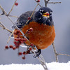 North American robin eating red Winterberry, Ilex verticillata, indigenous shrub, deciduous holly, bird eating berries in the snow, winter scene, songbird Phippsburg, Maine