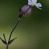 Bladder Campion is a white wildflower in Phippsburg, Maine