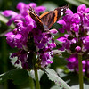 Red Admiral butterfly feeding on purple Lamium flowers, Purple Dragon, probiscus