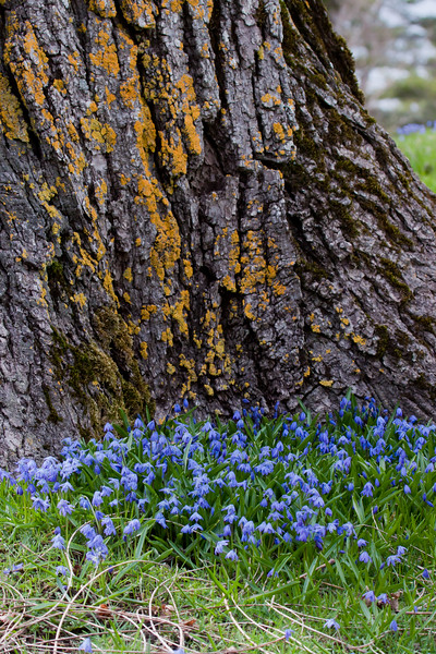 blue Siberian squill which has naturalized in a lawn at the foot of a huge maple tree, Parker Head Road, Phippsburg, Maine flowers in spring