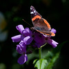Red Admiral butterfly on Hersperis or Dame's Rocket a type of phlox, wildflower, Phippsburg, Maine garden, summer, purple