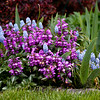 pale blue Valerie Finnis grape hyacinths and Purple Dragon lamium, also known as Dead Nettle, Phippsburg, Maine coastal garden, spring