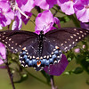 Black Swallowtail butterfly feeding on nectar of garden Phlox, my coastal Maine Phippsburg gardens
