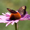 Wood Nymph butterflies, a pair feeding on nectar of Echinacea, Purple Cone flower in my coastal Maine Phippsburg garden in summer