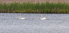 Mute swan pair, Winnegance Lake, Phippsburg, Maine