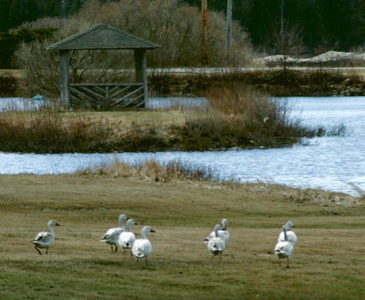Snow geese, Sebasco harbor Resort, Phippsburg, Maine April 14, 2008