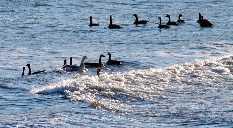 Canada geese with domestic, ? hybrid, Totman Cove Phippsburg Maine