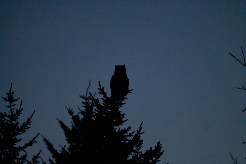 Great Horned Owl, Phippsburg, Maine, Totman Cove, November 14, 2012, 4:46 pm