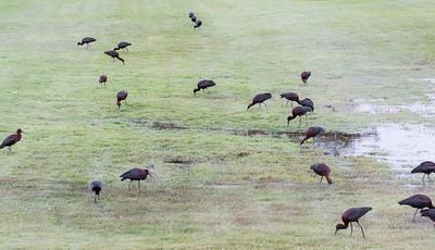 Glossy ibis feeding on flooded grasslands after heavy rainfall, Phippsburg Maine June