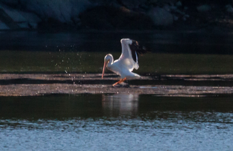 Rare American White Pelican seen in St. Geo