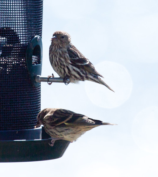 Pine siskins, May Phippsburg Maine  top? adult, bottom ? juvenile