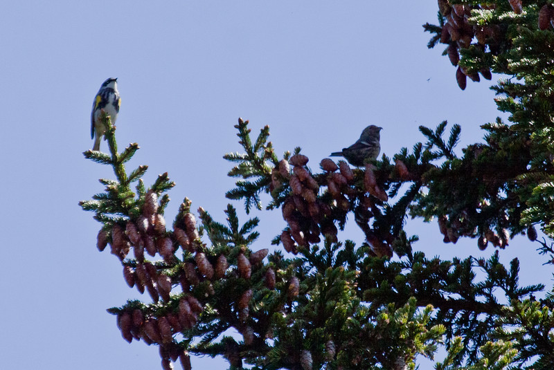 Yellow-rumped warbler male on left, White Winged Crossbill, female on right atop Black spruce tree, May Phippsburg Maine