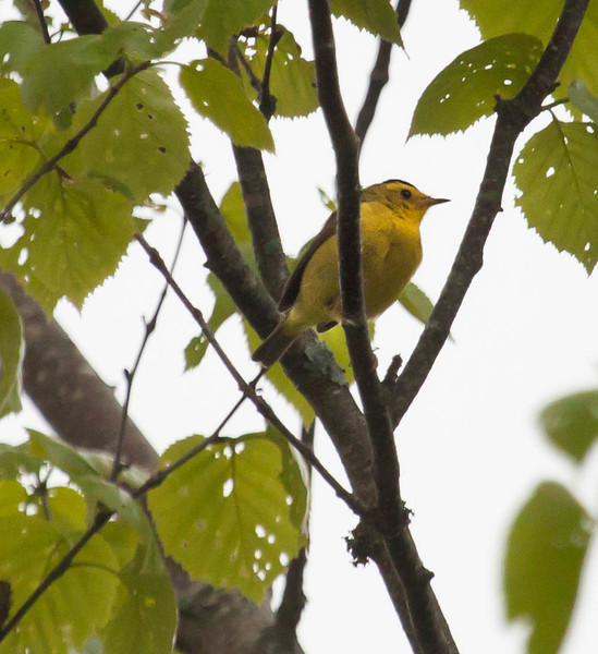 Wilson's Warblers are migratory in Maine. This was on Small Point, Phippsburg, Maine