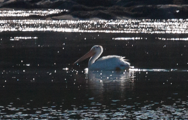 Rare American White Pelican seen in St. George, Maine, Knox County on Long Cove, Penobscot Bay, September 14, 2013