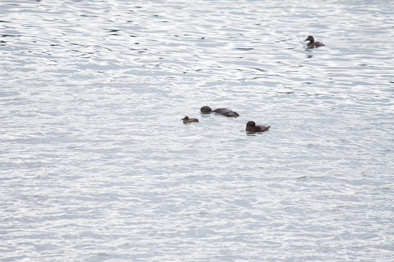 Unidentified duckkkkk/duckling with Common eider juveniles, Totman Cove, July 25,m 2013odd duck with Common eiders for size comparison