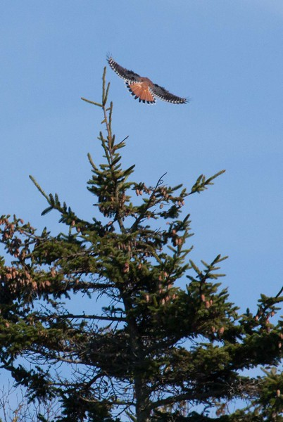 American Kestrel, Maine's smallest raptor, a migratory hawk