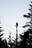 Great Horned Owl silhouetted against night sky, PHippsburg Maine November Great Horned Owl, Phippsburg, Maine, Totman Cove, November 14, 2012, 4:46 pm