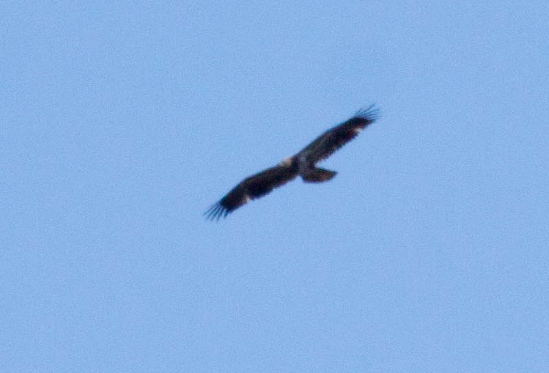head looks tawny in this shot, ? Golden eagle?