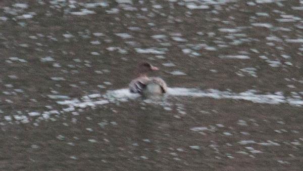 Pink Footed Goose Anser brachyrhynchus, West Bath Maine, December 14, 2013, CBC