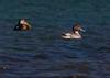 American Black Duck, drake, Northern Pintail drake, Hermit Island, Phippsburg, Maine February 2012