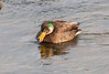 MallardXAmericanBlackDuck hybrid, Totman Cove, Phippsburg Maine January 22, 2014