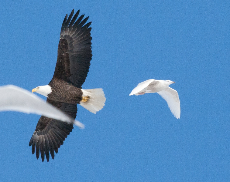 Bald eagle adult in flight with Glaucous gull on the right
