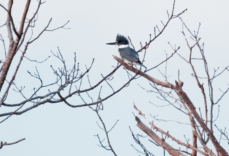 Belted Kingfisher, male, perched, Phippsburg Maine February 2012