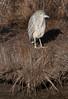 Black Crowned Night Heron, immature, lurking in saltmarsh