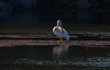 Rare American White Pelican seen in St. Geo